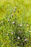 Purpere bloemen in de weide royalty-vrije stock afbeelding