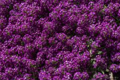 Purpere bloemen en bladeren stock afbeeldingen