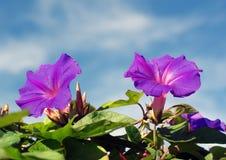 Purpere bloemen en blauwe hemel royalty-vrije stock fotografie