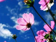 Purpere bloemen en blauwe hemel Stock Foto's