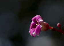 Purpere bloemen en dalingen Royalty-vrije Stock Foto