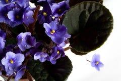 Purpere bloemen en dalingen Royalty-vrije Stock Fotografie