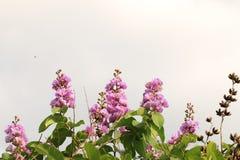 Purpere bloemen en knoppen Royalty-vrije Stock Foto