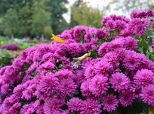 Purpere bloemen in het park Royalty-vrije Stock Afbeelding