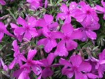 Purpere bloemen met regendalingen royalty-vrije stock afbeeldingen