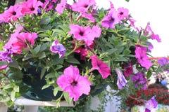 Purpere bloemen in Mirakeltuin Doubai Royalty-vrije Stock Foto's