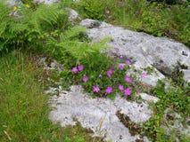 Purpere bloemen op Burren Royalty-vrije Stock Afbeelding