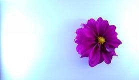 Purpere bloemen op de blauwe geweven achtergrond stock afbeeldingen