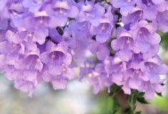 Purpere bloemen op de Jacaranda-boom stock afbeelding