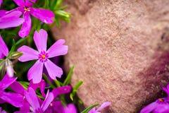 Purpere Bloemen op de Steen Royalty-vrije Stock Foto's
