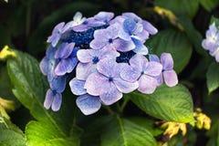 Purpere bloemen op de struik Stock Afbeeldingen