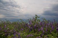Purpere bloemen op groen gras met bewolkte hemel Stock Fotografie