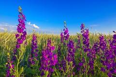 Purpere bloemen op tarwegebied Royalty-vrije Stock Afbeelding