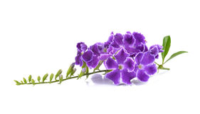 Purpere bloemen op witte achtergrond Stock Foto