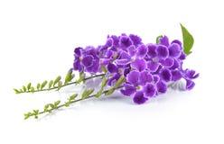 Purpere bloemen op witte achtergrond Stock Foto's