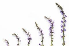 Purpere bloemen op witte achtergrond Royalty-vrije Stock Afbeeldingen