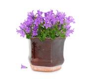 Purpere bloemen in pot Stock Afbeelding