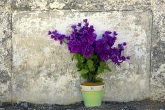 Purpere bloemen in pot door uitstekende muur Royalty-vrije Stock Fotografie