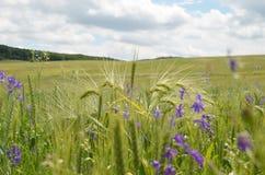 Purpere bloemen in tarwe in ingediend Royalty-vrije Stock Foto's