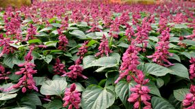 Purpere bloemen in tuin Stock Foto