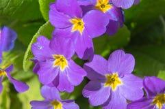 Purpere bloemen in tuin Royalty-vrije Stock Foto