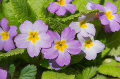 Purpere bloemen in tuin Stock Afbeeldingen