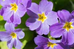 Purpere bloemen in tuin Royalty-vrije Stock Fotografie
