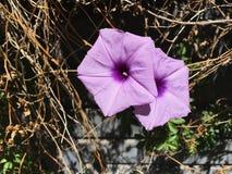Purpere bloemen in tuin Royalty-vrije Stock Foto's
