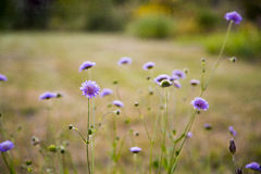 Purpere bloemen in tuin in de zomer Stock Fotografie