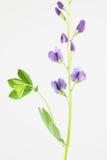 Purpere bloemen van baptisia Royalty-vrije Stock Foto