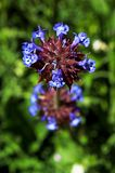 Purpere bloemen van Chia Sage, woestijnchia stock foto's