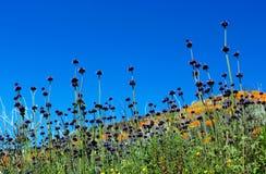 Purpere bloemen van Chia Sage, woestijnchia stock afbeelding