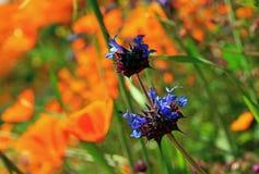 Purpere bloemen van Chia Sage, woestijnchia royalty-vrije stock afbeeldingen