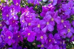 Purpere bloemen van clematissen Dichte overwoekerde clematissen, pattern_ royalty-vrije stock foto