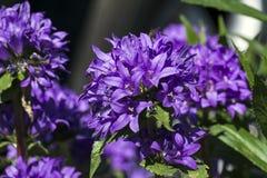 Purpere bloemen van gegroepeerd bellflower royalty-vrije stock afbeelding