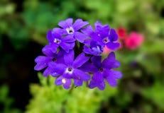 Purpere Bloemen van Ijzerkruid/Barbena met groene achtergrond Royalty-vrije Stock Afbeeldingen