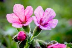 Purpere bloemen van pulmonaria op een groene achtergrond in een bos dichte up_ stock fotografie