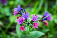 Purpere bloemen van pulmonaria op een groene achtergrond in een bos dichte up_ stock afbeelding
