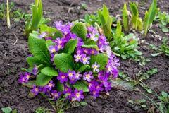 Purpere bloemen van sleutelbloem op een bloembed De eerste lente flowers_ royalty-vrije stock fotografie