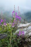 Purpere bloemen van wilgeroosje dichtbij de oude grote wortel tegen de achtergrond van nevelige bergen Chamaenerion angustif Royalty-vrije Stock Afbeelding