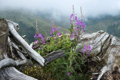 Purpere bloemen van wilgeroosje dichtbij de oude grote wortel tegen de achtergrond van nevelige bergen Chamaenerion angustif Stock Afbeelding