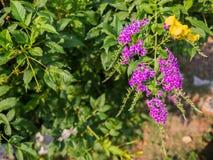 Purpere bloemenachtergrond in tuin, purpere hangende bloemen Royalty-vrije Stock Foto's
