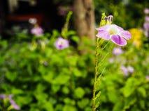 Purpere bloemeninstallaties Royalty-vrije Stock Foto's