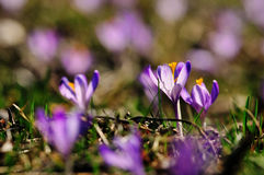 Purpere bloemenkrokussen op weide in aard, mooie de lentebloemen Stock Foto