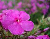 Purpere bloemflox, op een violet-groene achtergrond Macrophoto stock afbeeldingen