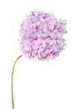 Purpere bloemhydrangea hortensia (het Knippen weg) Stock Afbeelding
