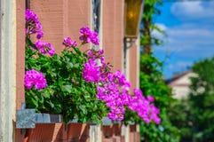 Purpere bloemooievaarsbek, Geranium op het balkon Stock Afbeelding