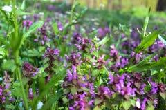 Purpere bloesem van Lamium-purpureum purpere dovenetel royalty-vrije stock foto