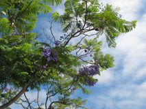 Purpere Bloesems van Jacaranda-Boom van San Diego County met Bewolkte Blauwe Hemel op Achtergrond stock foto's