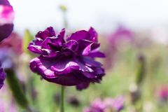 Purpere Boterbloemenbloem Stock Foto